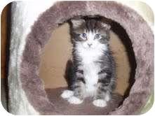Domestic Shorthair Kitten for adoption in Medford, Massachusetts - Jacob Black
