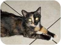 Calico Cat for adoption in Tampa, Florida - Bella