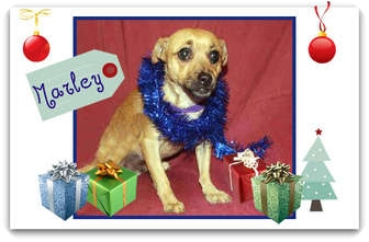 Chihuahua Mix Dog for adoption in San Clemente, California - Marley