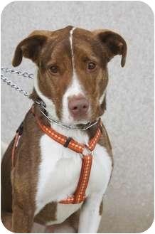 Labrador Retriever/Shepherd (Unknown Type) Mix Dog for adoption in Warren, Michigan - Madison