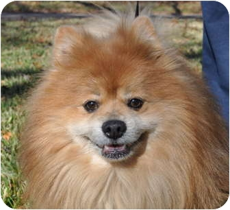Pomeranian Mix Dog for adoption in Austin, Texas - Kendal
