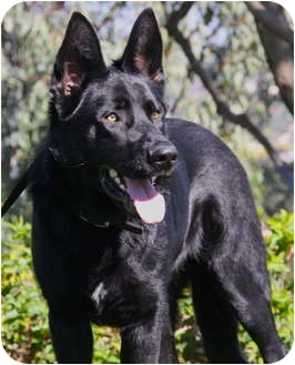German Shepherd Dog Puppy for adoption in Laguna Niguel, California - Peyton