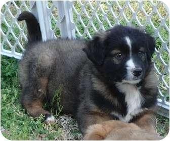 Australian Shepherd/German Shepherd Dog Mix Puppy for adoption in Melbourne, Arkansas - Reemy