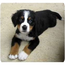 Bernese Mountain Dog Puppy for adoption in Long Beach, California - Olivia