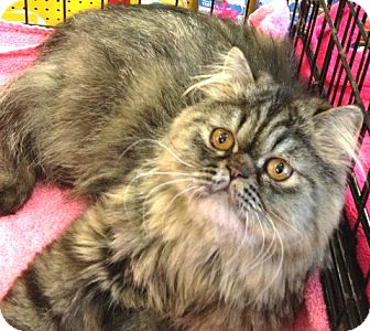Persian Cat for adoption in Beverly Hills, California - Cocoa Puff