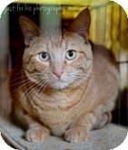 Domestic Shorthair Kitten for adoption in Okotoks, Alberta - Cheddar