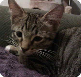 American Shorthair Kitten for adoption in Ogden, Utah - Gandalf