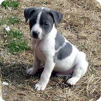 American Staffordshire Terrier Mix Puppy for adoption in Manassas, Virginia - Lighting