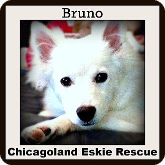 American Eskimo Dog Dog for adoption in Elmhurst, Illinois - Bruno