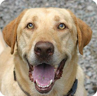 Labrador Retriever Dog for adoption in Pinehurst, North Carolina - Blue