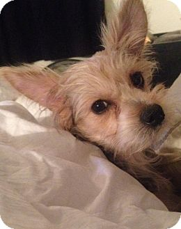 Yorkie, Yorkshire Terrier/Chihuahua Mix Puppy for adoption in Long Beach, New York - Coco Chanel
