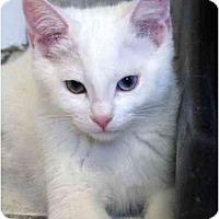 Adopt A Pet :: Angel-Bi coloured eyes - Markham, ON