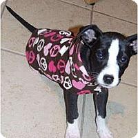 Adopt A Pet :: Punky Brewster - Rowlett, TX