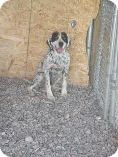 English Setter Dog for adoption in Fort Benton, Montana - Batman