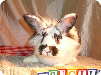 Lionhead Mix for adoption in Newport, Delaware - Drucilla
