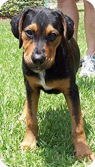 Rottweiler Mix Puppy for adoption in Port St. Joe, Florida - Tux