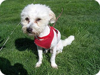 Maltese/Poodle (Miniature) Mix Dog for adoption in Urbana, Ohio - Dicky