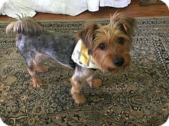 Silky Terrier Dog for adoption in Fairview Heights, Illinois - Enzo