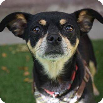 Chihuahua Mix Dog for adoption in Denver, Colorado - Natasha