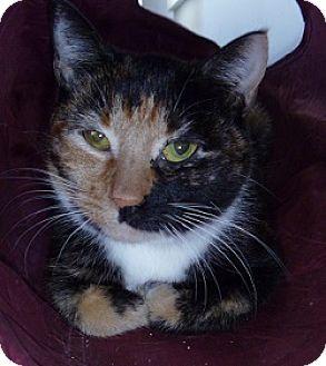 Domestic Shorthair Cat for adoption in Hamburg, New York - Vivian