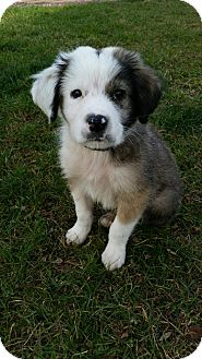 Great Pyrenees Mix Puppy for adoption in New Oxford, Pennsylvania - Alvin