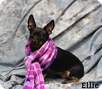 Chihuahua Mix Dog for adoption in Twin Falls, Idaho - Ellie