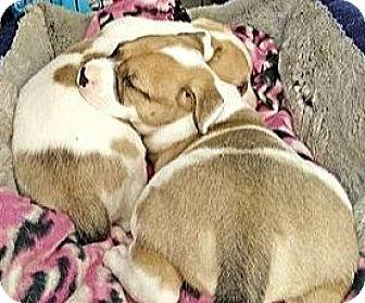 American Bulldog Puppy for adoption in Sylacauga, Alabama - Sunny