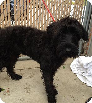 Labrador Retriever/Poodle (Standard) Mix Dog for adoption in Bloomington, Illinois - Shaggy