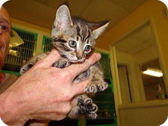 Domestic Shorthair Kitten for adoption in Marble, North Carolina - Carol