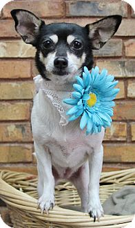 Rat Terrier Dog for adoption in Benbrook, Texas - Minnie