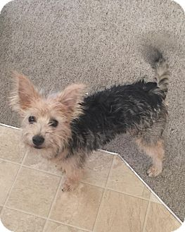 Silky Terrier Mix Dog for adoption in Taylorsville, Utah - Zeus/Edward