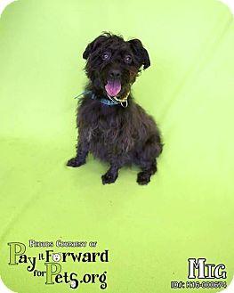 Poodle (Miniature) Mix Dog for adoption in Sharon Center, Ohio - Mig