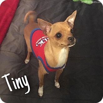 Chihuahua Mix Dog for adoption in Phoenix, Arizona - Tiny