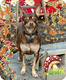 Chihuahua/Miniature Pinscher Mix Dog for adoption in S. Pasedena, Florida - Koko