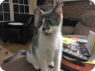 Domestic Shorthair Kitten for adoption in Richmond, Virginia - Panik