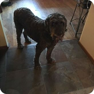 Labradoodle Mix Dog for adoption in Evergreen, Colorado - Mahogany