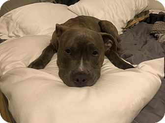 American Pit Bull Terrier Mix Puppy for adoption in Philadelphia, Pennsylvania - Bodhi