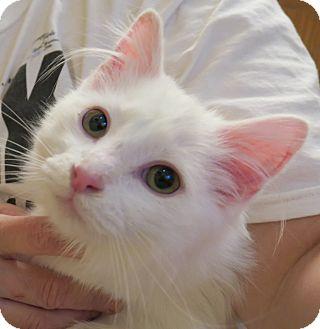 Domestic Longhair Kitten for adoption in Bedford, Virginia - Oyster