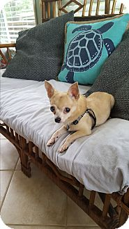 Chihuahua Dog for adoption in Nashville, Tennessee - Chester