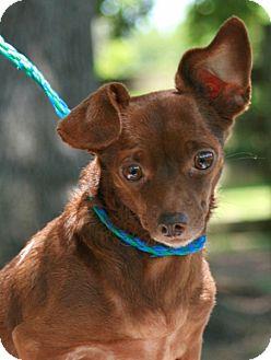 Chihuahua/Dachshund Mix Dog for adoption in Santa Fe, Texas - Miss Annette