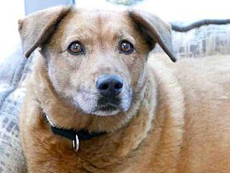 Chow Chow/Labrador Retriever Mix Dog for adoption in Austin, Texas - *HERSHEY