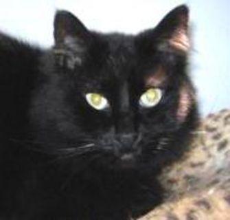 Domestic Longhair/Domestic Shorthair Mix Cat for adoption in Winona, Minnesota - Wildwood