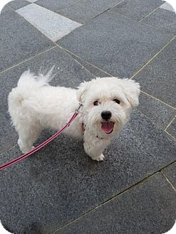 Westie, West Highland White Terrier/Maltese Mix Puppy for adoption in LONG ISLAND CITY, New York - Fluffy