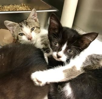 Domestic Shorthair/Domestic Shorthair Mix Cat for adoption in Owensboro, Kentucky - Molly