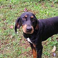 Adopt A Pet :: Ambrosia - New York, NY