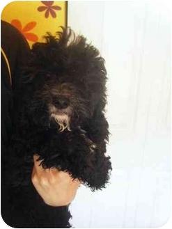 Cockapoo Mix Puppy for adoption in Algonquin, Illinois - Marti