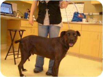 Labrador Retriever/Terrier (Unknown Type, Small) Mix Dog for adoption in Ponderay, Idaho - Bam