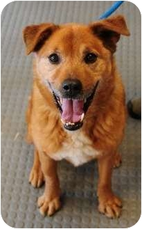 Shepherd (Unknown Type)/Chow Chow Mix Dog for adoption in Gardnerville, Nevada - Angie