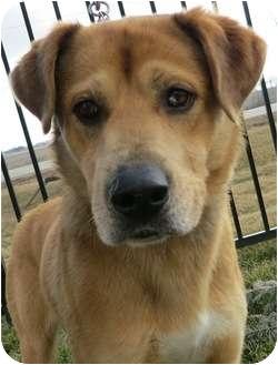 Labrador Retriever/Shepherd (Unknown Type) Mix Dog for adoption in Plainfield, Illinois - Encore