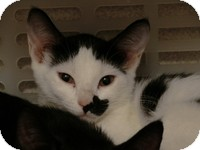Domestic Shorthair Kitten for adoption in Tampa, Florida - Molly
